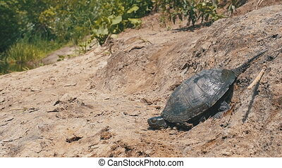 River Turtle Crawling along the Sandy Beach into the River....