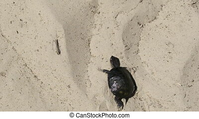 River Turtle Crawling on Sand to Water near Riverbank. Close-up. Slow Motion 240 fps. Camera follows tortoise. European pond turtle Emys orbicularis. Concept victory, achievement of goal, motivation.