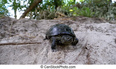 River Turtle Crawling on Sand to Water near Riverbank. Slow ...