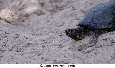 River Turtle Crawling on Sand to Water near Riverbank. Slow Motion