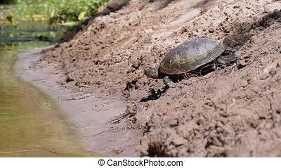 Turtle Crawling on Sand to Water and Dives into the River. Close-up. Slow Motion in 180 fps. Camera follows tortoise. European pond turtle Emys orbicularis. Summer. Concept of overcoming difficulties.