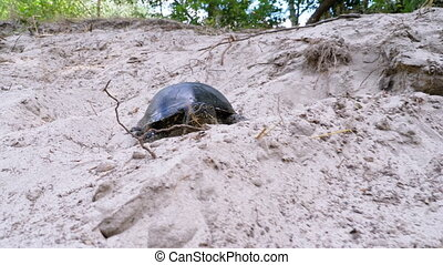 River Turtle Crawling on the Sand near Riverbank. Close-up. Slow Motion. Camera follows the tortoise. European pond turtle Emys orbicularis. Concept of victory, achievement of goal, motivation. Summer