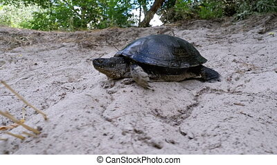 River Turtle Crawling on the Sand near Riverbank. Slow ...
