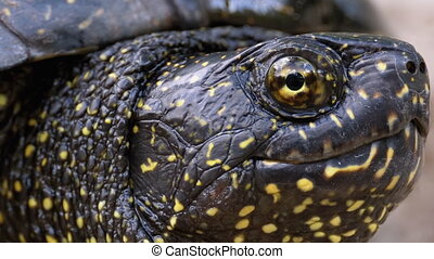 River Turtle Head Extreme Close-up. Large turtle sticks its head out of the shell on the riverbank. Eye and skin of a turtle. European pond turtle Emys orbicularis. Summer, sunny day.