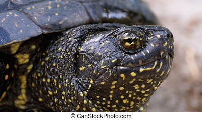River Turtle Lies on the Sand. Close-up. Large turtle sticks its head out of the shell on the riverbank. Summer, sunny day. European pond turtle (Emys orbicularis).