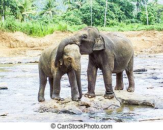 rivière, amour, éléphants