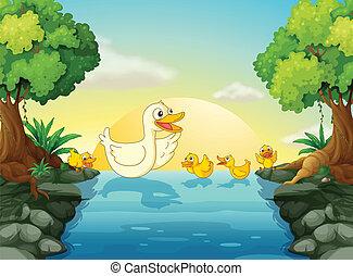 rivière, canards