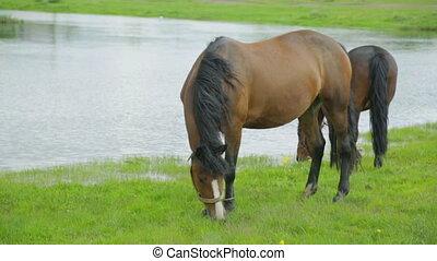 rivière, chevaux, pré, pâturage