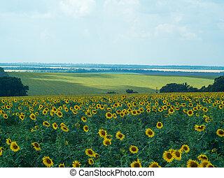 rivière, collines, arrière-plan., loin, arbres., feuilles, floraison, ciel, jaune, brouillé, foyer., champ, rural, sélectif, tournesols, nuageux, sous, vert, doux, summer., paysage