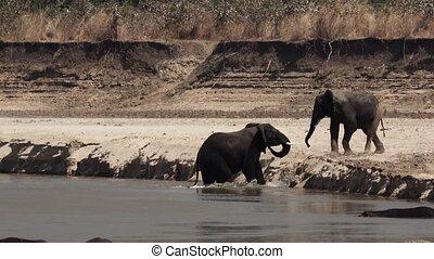rivière, combat, fâché, rivage, éléphants
