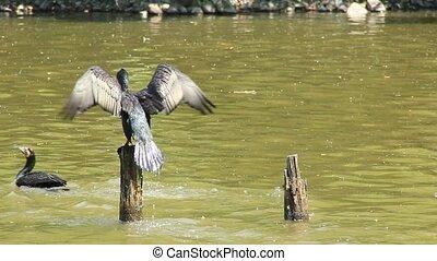 rivière, cormoran