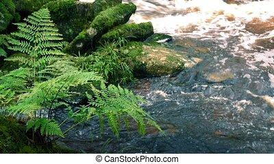 rivière, fougères