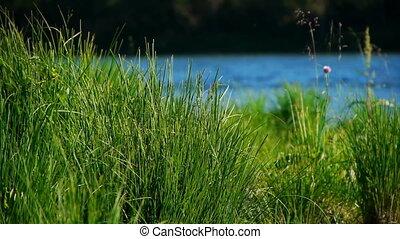rivière, herbe, russie, altai