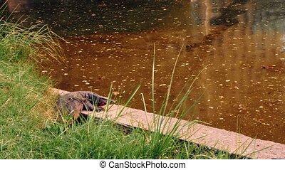 rivière, jour ensoleillé, mensonge, varans
