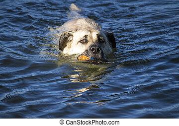 rivière, porter, balle, chien, natation