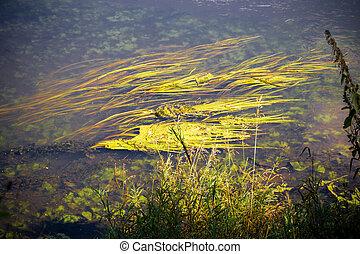 rivière, surface, à, algue