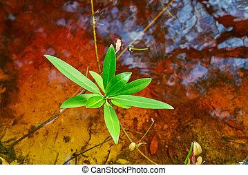 riviera, 葉, mangroove, maya, メキシコ\