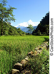 riz, paysage, vert, champs