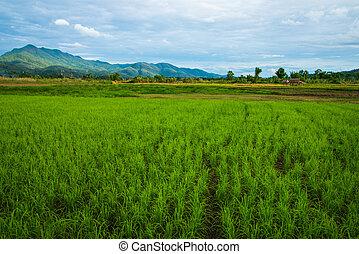 rizs terep, háttér