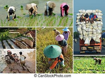 rizs terep, mezőgazdaság, kollázs