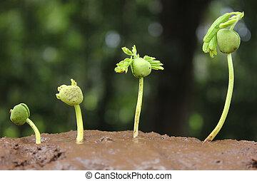 roślina, growth-stages, od, rozwój, plan