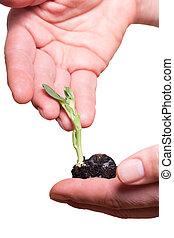 roślina, w, hands.