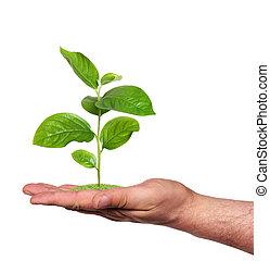 roślina, w, niejaki, ręka, odizolowany