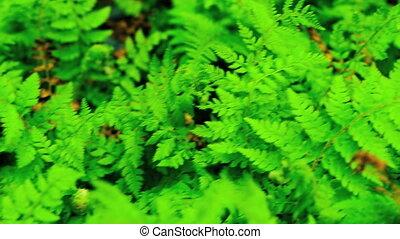 rośliny, świeży, zielone tło, paproć