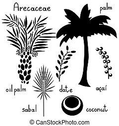rośliny, arecaceae, komplet