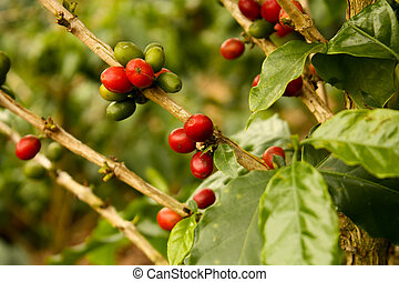 rośliny, kawa, dojrzały