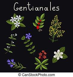 rośliny, komplet, gentianales