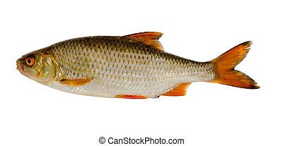 Roach fish after fishing isolated on white background.