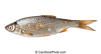 Roach fish