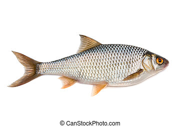 Roach - Fish roach - isolated on white background.