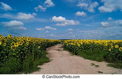 Road among sunflowers