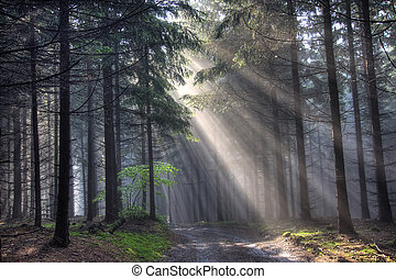 road and coniferous forest in fog - Image of the coniferous...