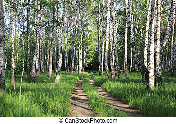 road in a birch grove