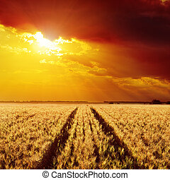 road in field of barley and golden sunset