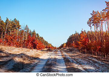 Road in the autumnal forest. Sand pathway surroundes with pine and red oak trees