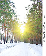 road in the pine forest in winter sunny day