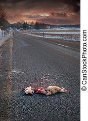 road killed animal - animal on asphalt road hit by a car