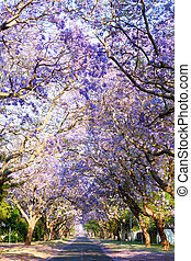 Road lined with beautiful purple jacaranda trees in bloom,...