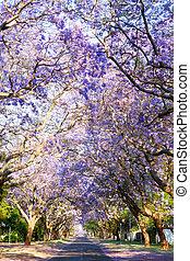 Road lined with beautiful purple jacaranda trees in bloom,...