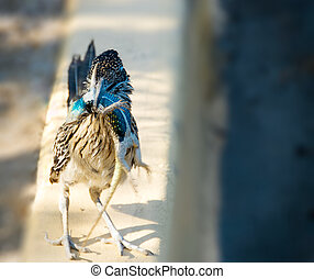 Road Runner Holding Brilliant Blue Lizard in its Beak.
