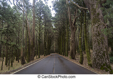 Road through a forest in Tenerife