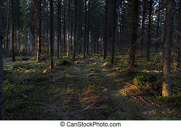 Road to the spruce forest