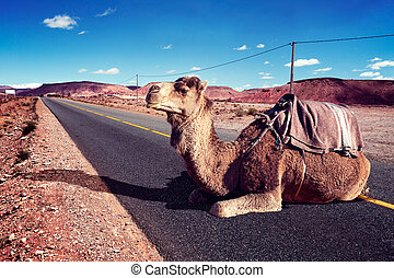 Road trips and adventures.Morocco landscape.dromedary ride -...