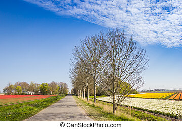 Road trough colorful tulip fields in Noordoostpolder, Netherlands