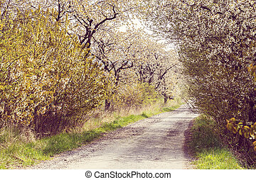 road with alley of cherry trees in bloom