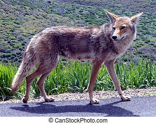 Pregnant female coyote walking the highway looking for road kill